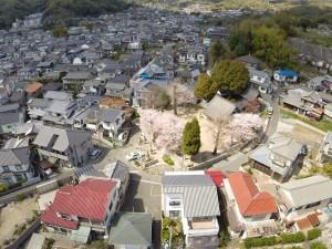 新宮神社 桜が満開です。