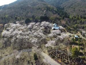 二本松公園の桜が満開でした。