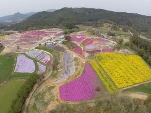 菜の花の黄色と芝桜のピンクがきれいでした。